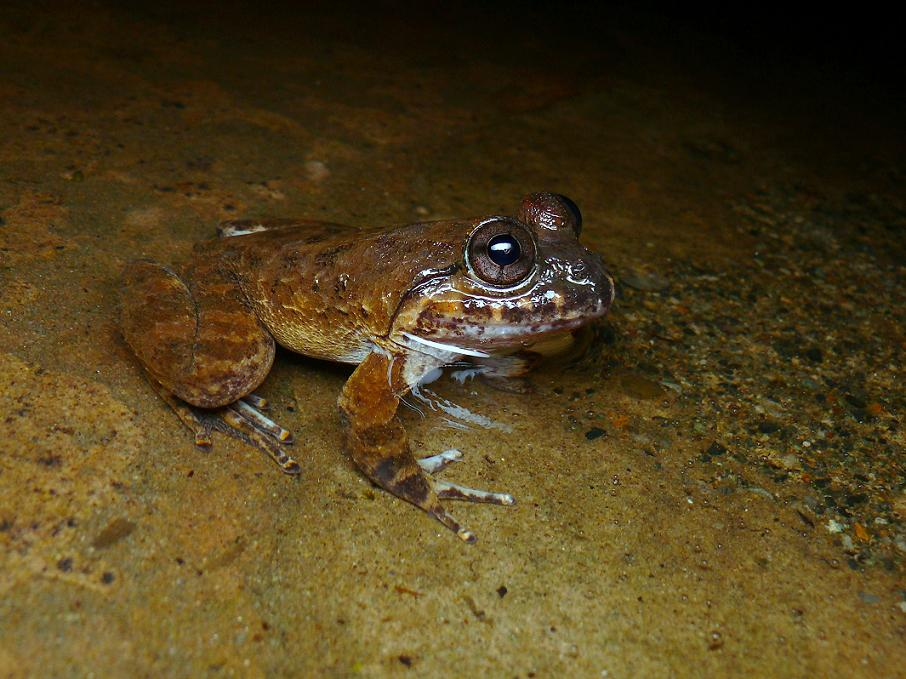 Kuhls_creek_frog