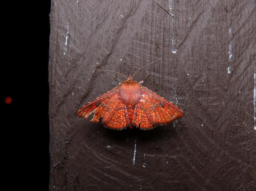 Monodecus_capillatus