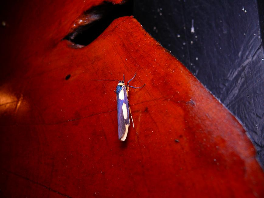 Monosyntaxis_trimaculata
