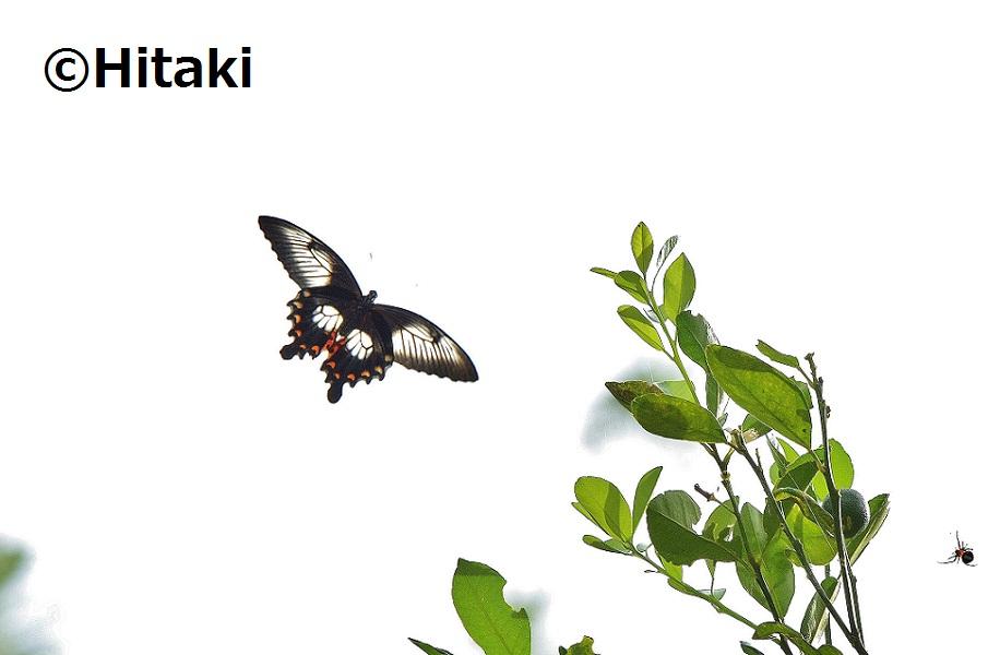 Papilio_ascalaphus