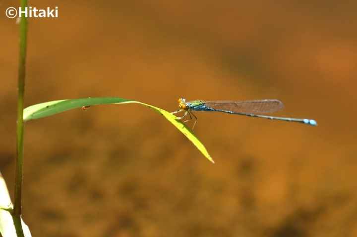 Pseudagrion-rubriceps